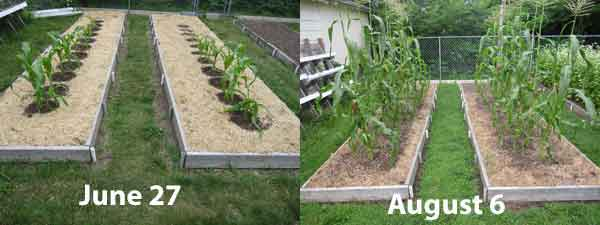 Growing Backyard Sweet Corn